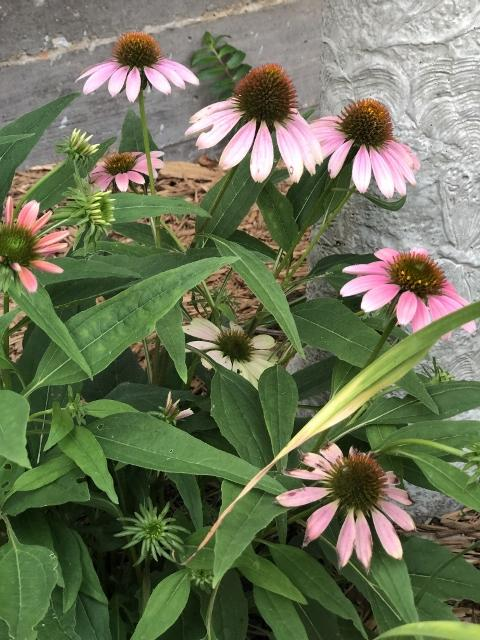 Coneflower in Frenchie Garden.