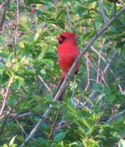 Cardinal at Frenchie place